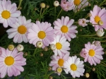 Argyranthemum - kopretina