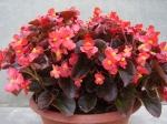 Begonia semperflorens - ledovka