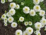 Chrysanthemum-řimbaba