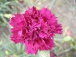 Dianthus - hvozdík