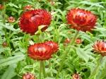 Helichrysum bracteatum-slaměnka