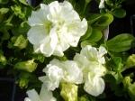 Petunia převislá plnokvětá