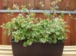 Plecranthus-molice