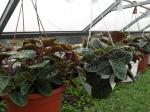 Plecranthus-tmavolistý