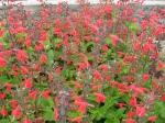Salvia coccinea-šalvěj šarlatová