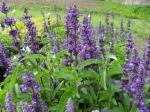 Salvia farinacea - šalvěj pomoučněná