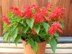 Salvia splendens - šalvěj zářivá