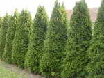 Thuja occidentalis smaragd - zerav